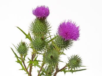Mariendistel Pflanze - NaturWiki